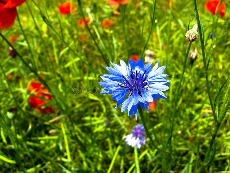 Den mjuka blom av blåklintCentaureacyanusen och röda vallmoPapaverrhoeas blommar i solig dag Sommarblommaslut upp arkivbilder