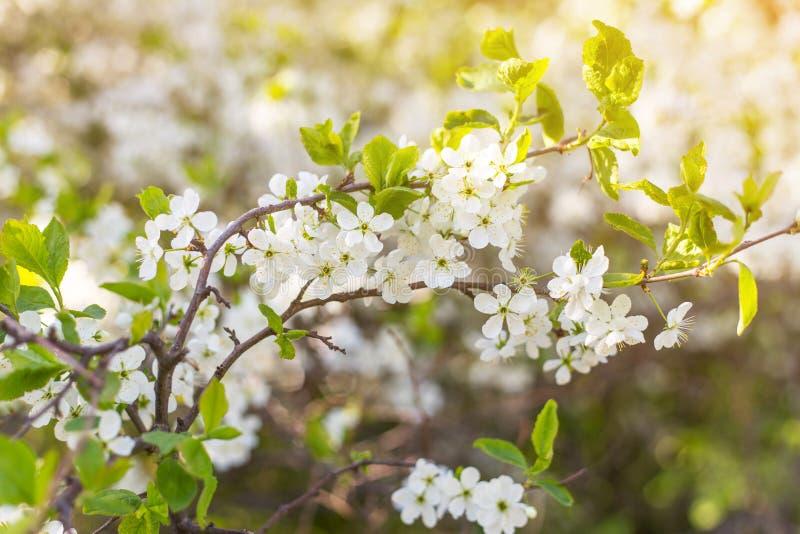 Den mjuka filialen för trädet för vårblomplommonet blommar i solljus royaltyfri bild