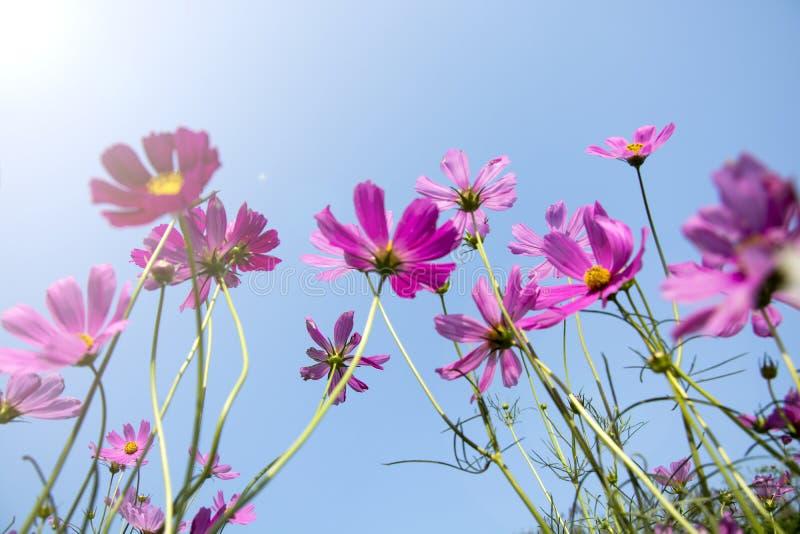 Den mjuka fokusen av härligt rosa och purpurfärgat kosmos blommar i fältet på bakgrund för blå himmel royaltyfri bild