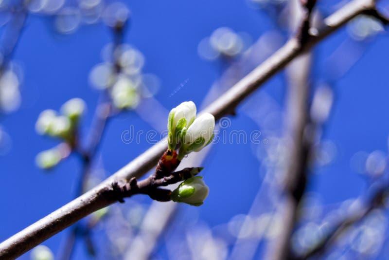Den mjuka fokusen av vita blommor för renkloplommoner blomstrar med oskarp bakgrund - prunusdomesticaitalicaen, rosaceaen, rosale arkivfoton
