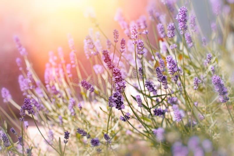 Den mjuka fokusen på lavendel blommar i blommaträdgård bak mitt hem arkivfoton