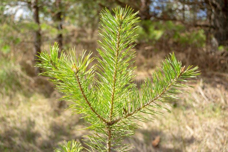 Den mjuka gröna granen fattar på våren skogen arkivbild