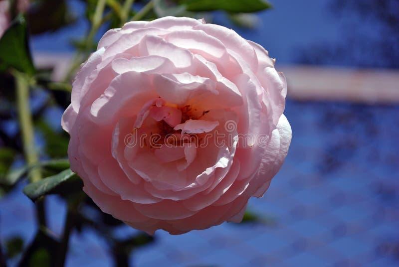 Den mjuka pastellfärgade rosa frottén steg blomma på den gröna busken, kronblad stänger sig upp detaljen, mjuk oskarp bokehbakgru fotografering för bildbyråer