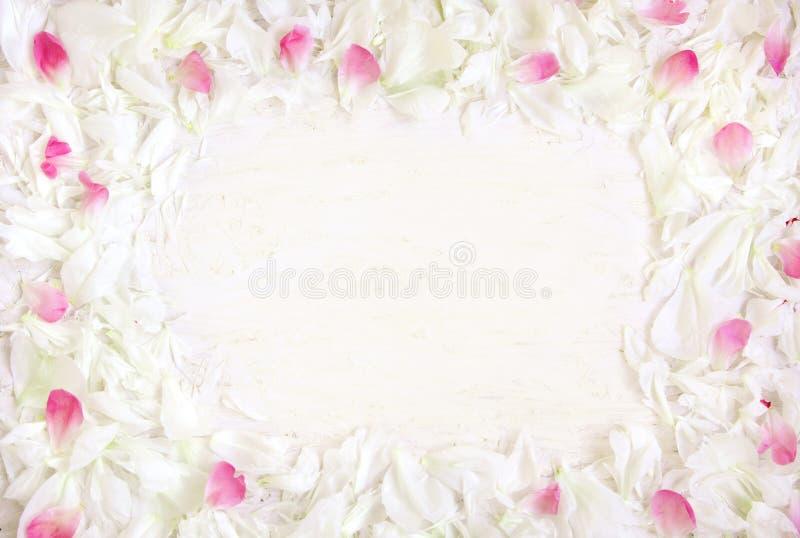 Den mjuka rammodellen av vita och rosa kronblad av pionen blommar fotografering för bildbyråer