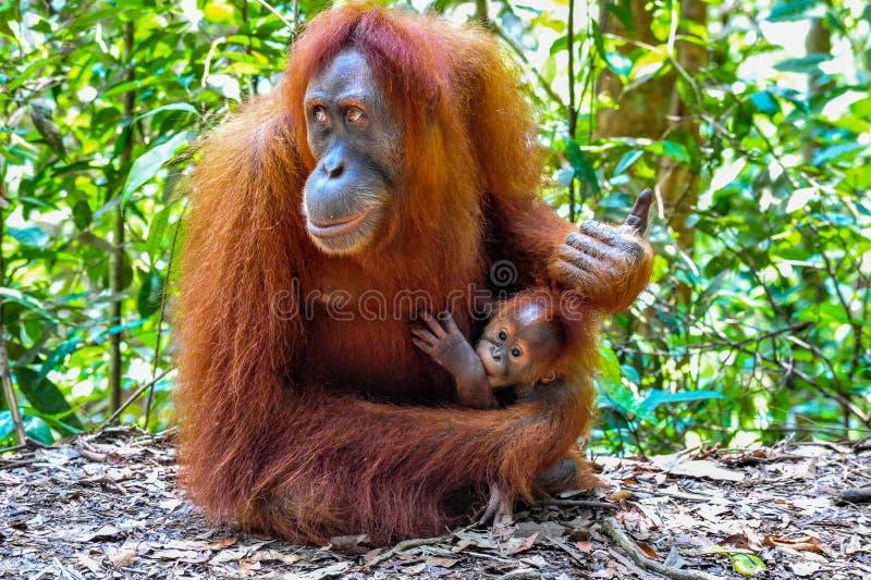 Den moderSumatran orangutanget med henne behandla som ett barn fotografering för bildbyråer