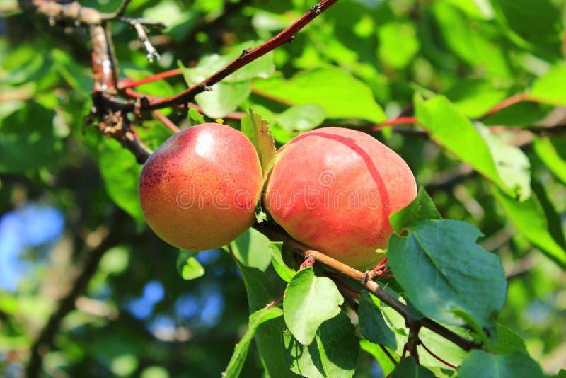 Den mogna aprikons bär frukt på filial Växa för frukter på träd i sommarträdgård arkivbilder