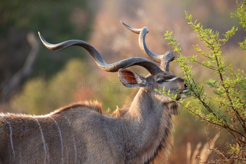 Den mogna kudutjuren med stora krullade horn ?ter fr?n taggtr?d royaltyfri bild