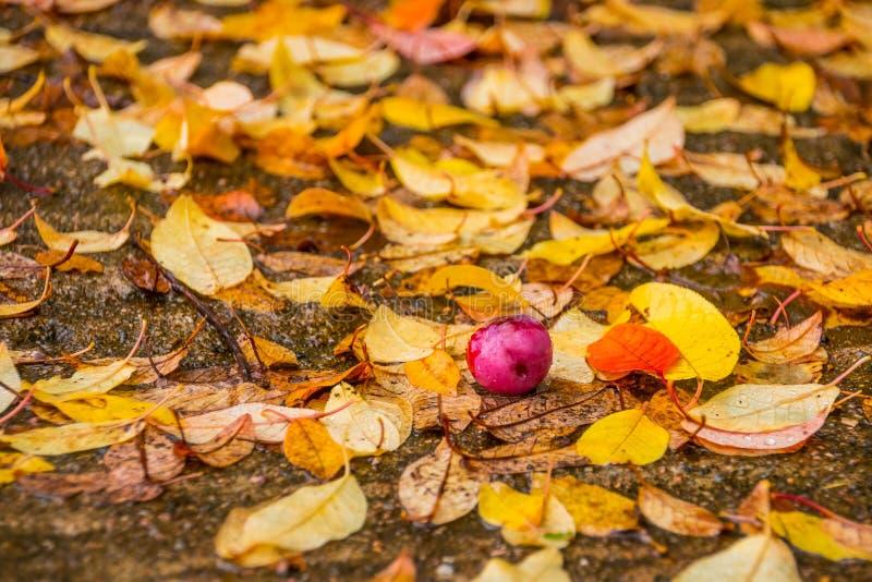 Den mogna plommonpalonen på våt guling lämnar bakgrund regnig höstdag Plommonfallong från träd Härliga ljusa nedgångfärger royaltyfri foto
