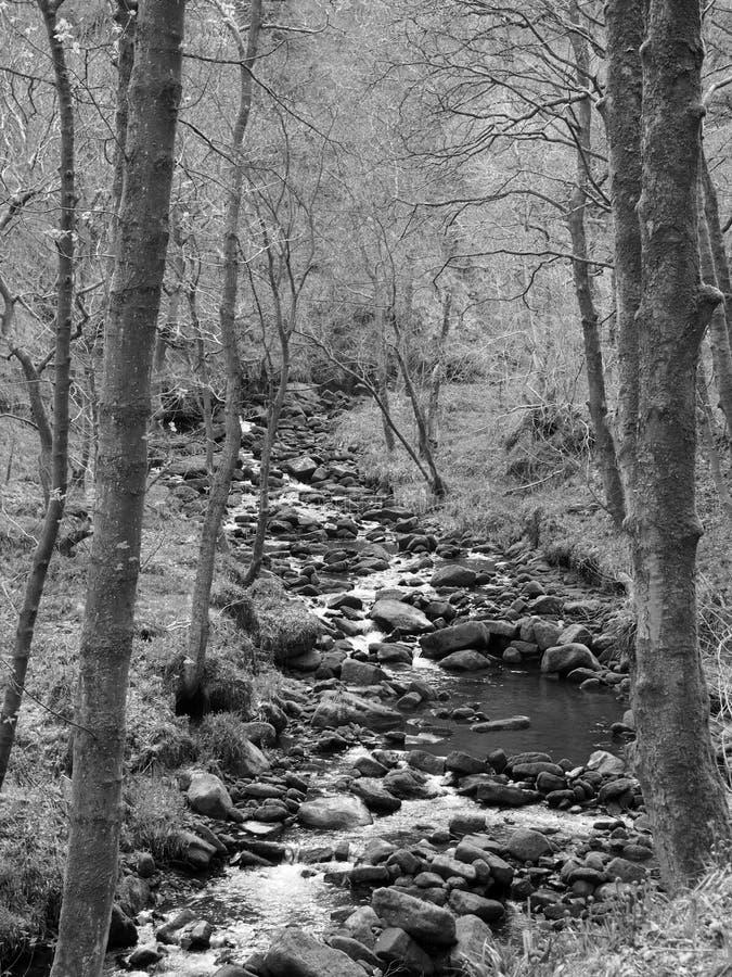Den monokromma bilden av en backeströmspring till och med mossigt vaggar och stenblock med hängande över skogträd i tät skogsmark royaltyfri fotografi