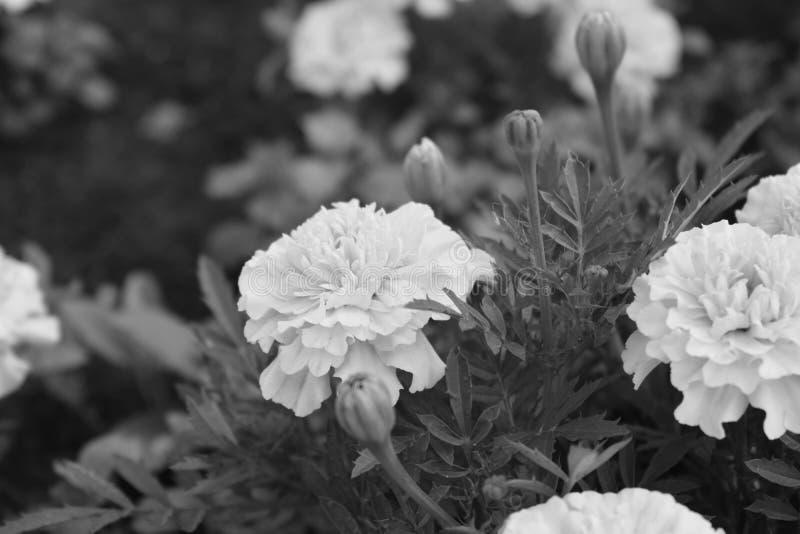 Den monokromma blomman i parkerar royaltyfri foto