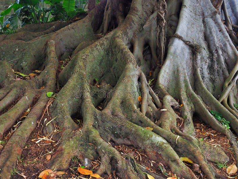 Den Moreton fjärdfikonträdet som är omfattande rotar systemet royaltyfri fotografi