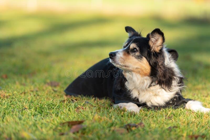 Den mycket gamla hunden ligger i gräset i höst royaltyfri fotografi