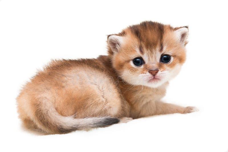 Den mycket gulliga lilla guld- tickade brittiska kattungen ser in i kameran som ligger på en vit isolerad bakgrund fotografering för bildbyråer