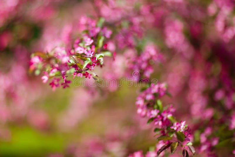 Den mycket härliga vårträdrosa färgen blomstrar en bakgrund royaltyfri bild