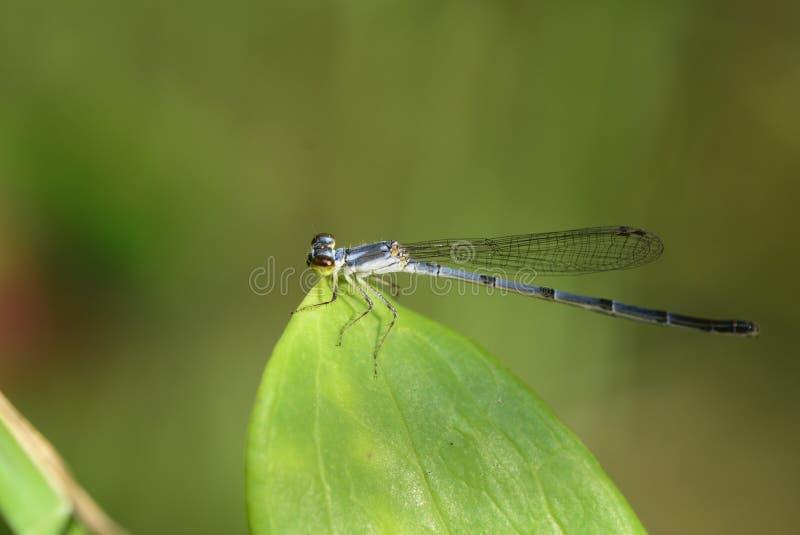 Den mycket lilla bräckliga forktaildamselflyen royaltyfria foton