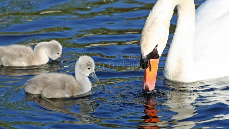 Den mycket lilla modern för den stumma svanen och hennes två behandla som ett barn unga svanar simmar och matar in vattnet royaltyfri foto