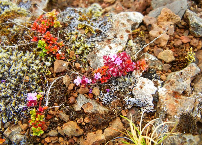 Den mycket lilla rosa färg-blommade växten som växer på, vaggar royaltyfri foto