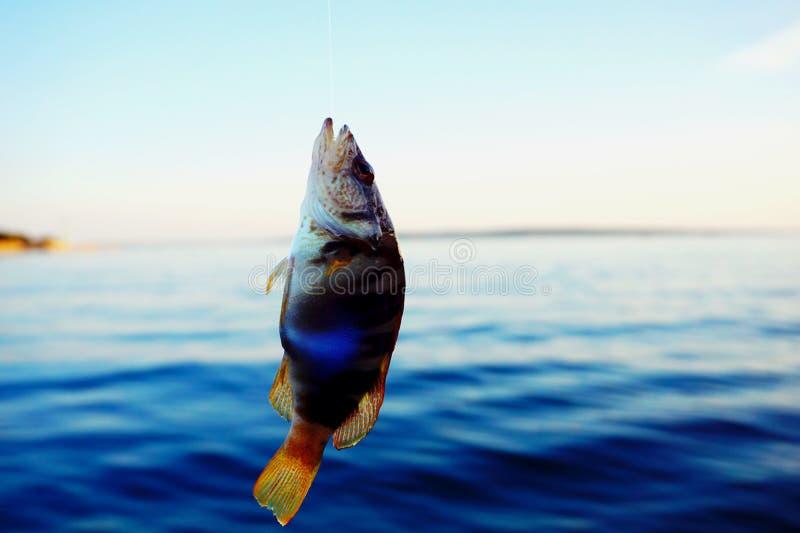 Den mycket lilla serranusen Scriba för havsfisken fångade och hänga på reven ovanför havsyttersidan royaltyfria foton