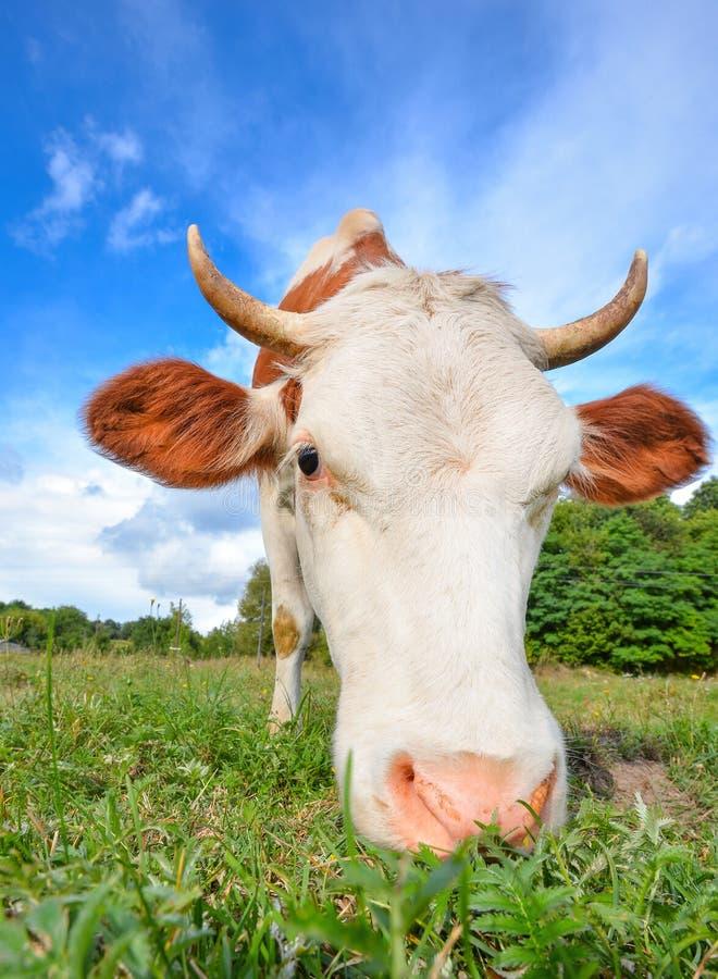 Den mycket roliga kon med stort tystar ned stirrig raksträcka in i kamera royaltyfria foton
