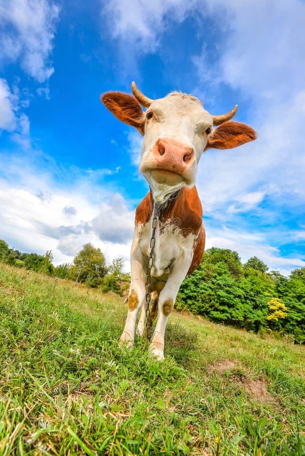 Den mycket roliga kon med stort tystar ned upp stirrig raksträcka in i kameraslut djurlantgårdliggande sommar för många sheeeps royaltyfri fotografi