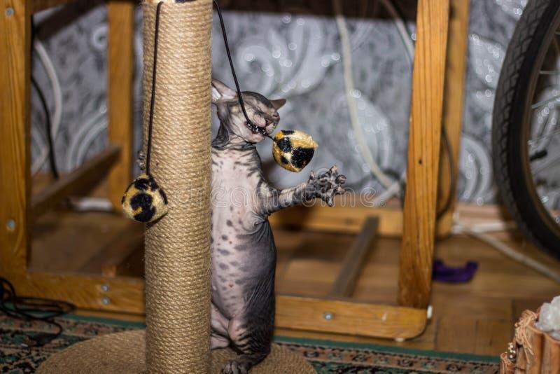 Den mycket roliga skalliga katten som Sphynx står på dess, tafsar och spelar royaltyfri foto