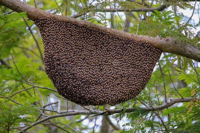 Den mycket stora honungskakan arkivbilder