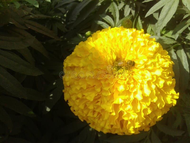 den mycket trevliga blomman i Bangladesh gerden arkivfoto