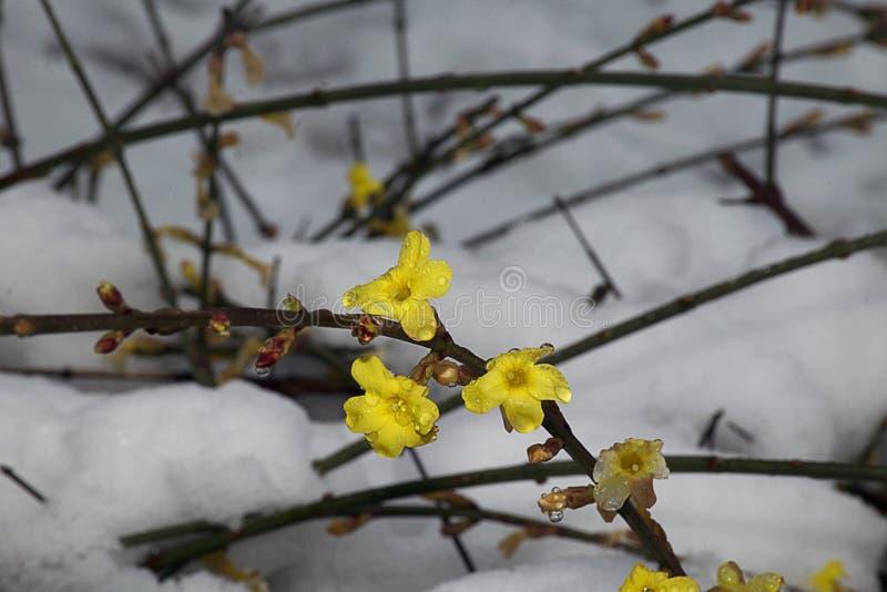 Den mycket trevliga gula våren blommar tätt upp under snön arkivfoton