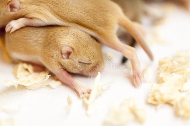 Den nära övre bilden av små gulliga möss behandla som ett barn att sova som tillsammans kuras royaltyfri bild