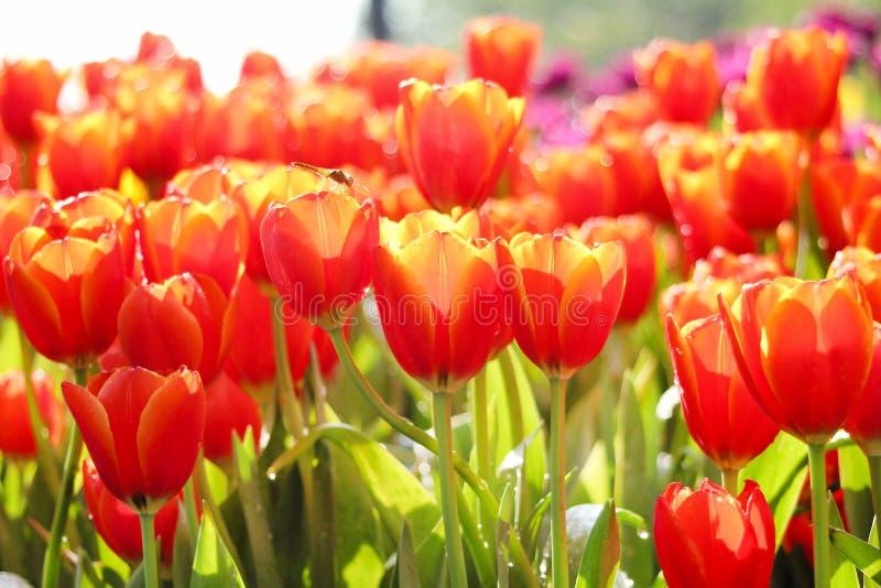 Den nära övre modellnaturen av röda färgrika dekorativa blommor och det gula tulpanfältet med vatten tappar gruppen som blommar f fotografering för bildbyråer