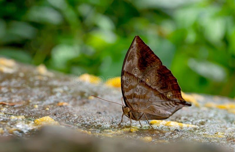 Den nära övre sikten av det bruna fjärilsstaget och äter några frukter på vaggar nära skogen i nationalparken av Thailand royaltyfria bilder