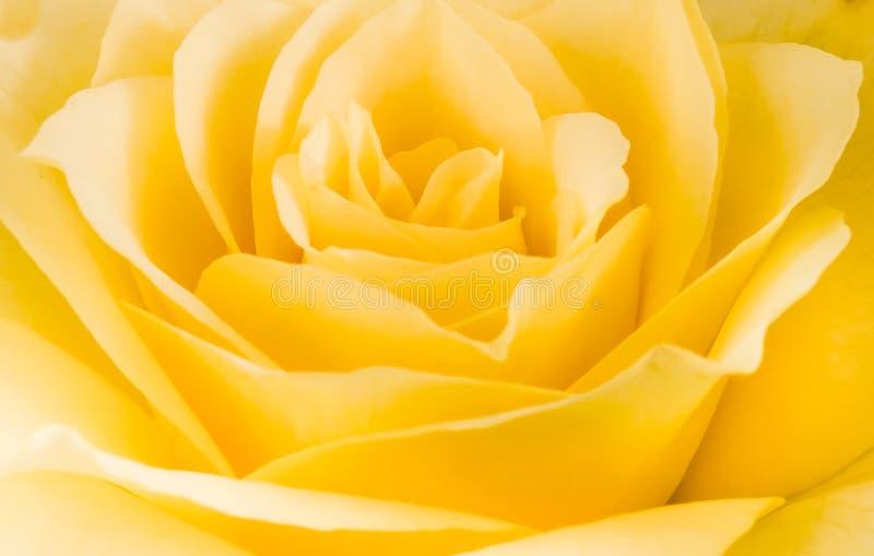 Den nära detaljen av gulnar den rosa blomman arkivbilder