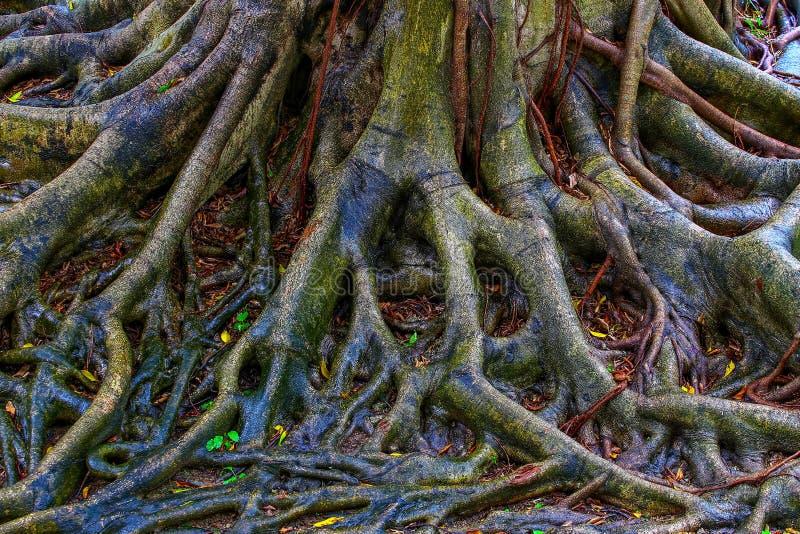 Den nära sikten av banyanträdet rotar efter regnet arkivfoto