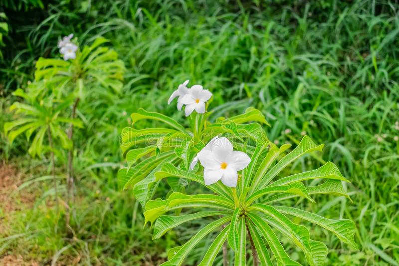 Den nära sikten av det vita blommaträdet för Plumeria två eller frangipanii regnig dag med vattensmå droppar blommar & sidor med  royaltyfria bilder