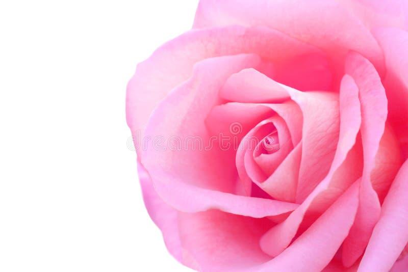 Den nära upp rosa rosen på vit bakgrund, ser mjuk och härlig royaltyfri bild