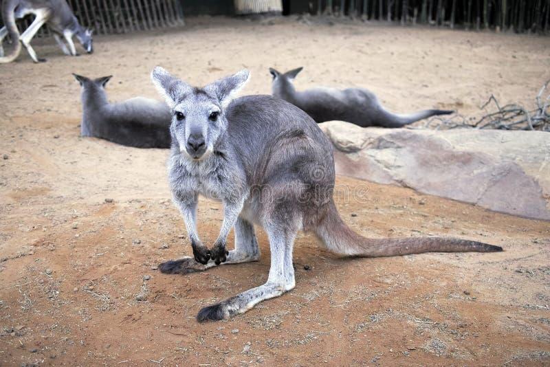 Den nätt känguruen royaltyfri bild