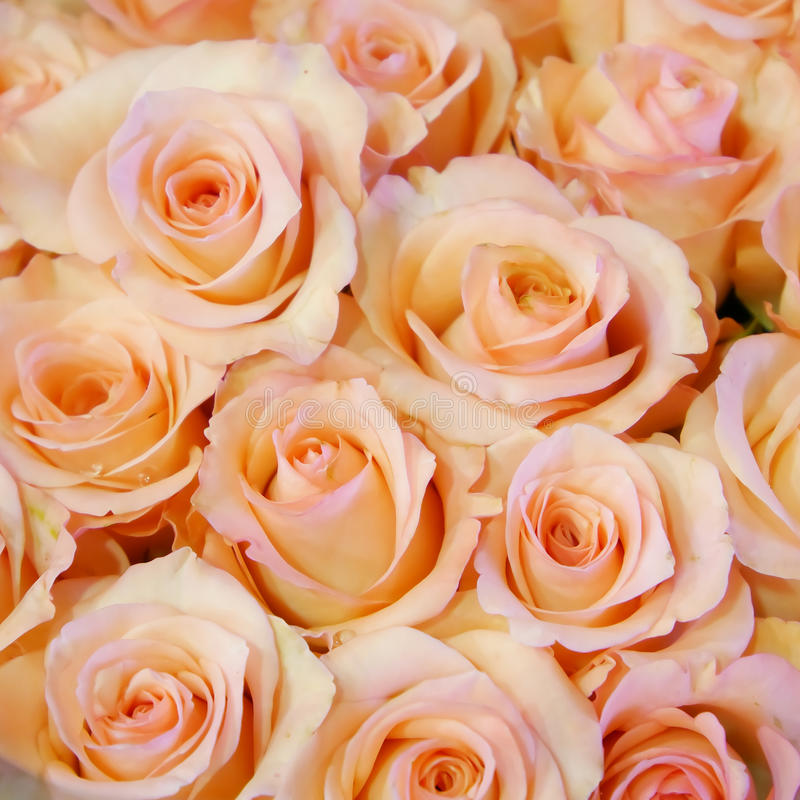 Den nätta gränsen - rosa färgrosbukett royaltyfri bild