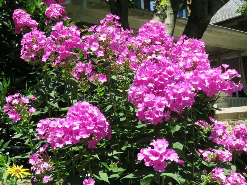 Den nätta purpurfärgade vanliga hortensian blommar i Juli royaltyfri fotografi