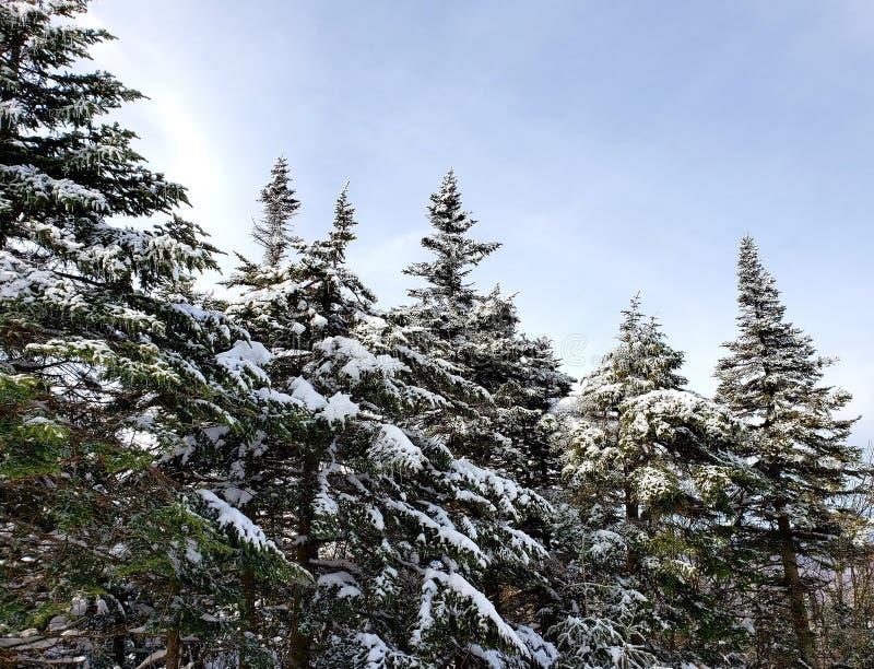 Den nätta ställningen av sörjer träd fotografering för bildbyråer