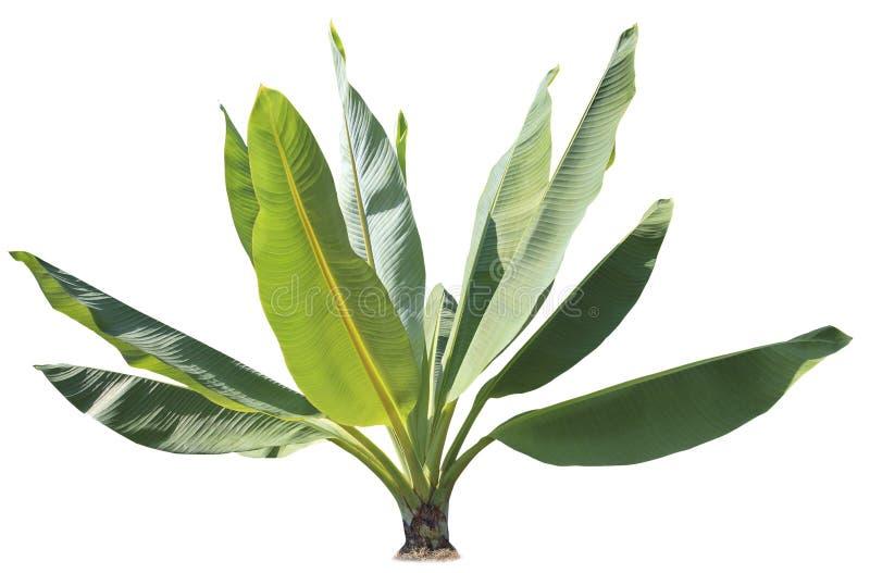 Den naturliga gröna banansidaväxten för dekorerat in parkerar och gar arkivbild