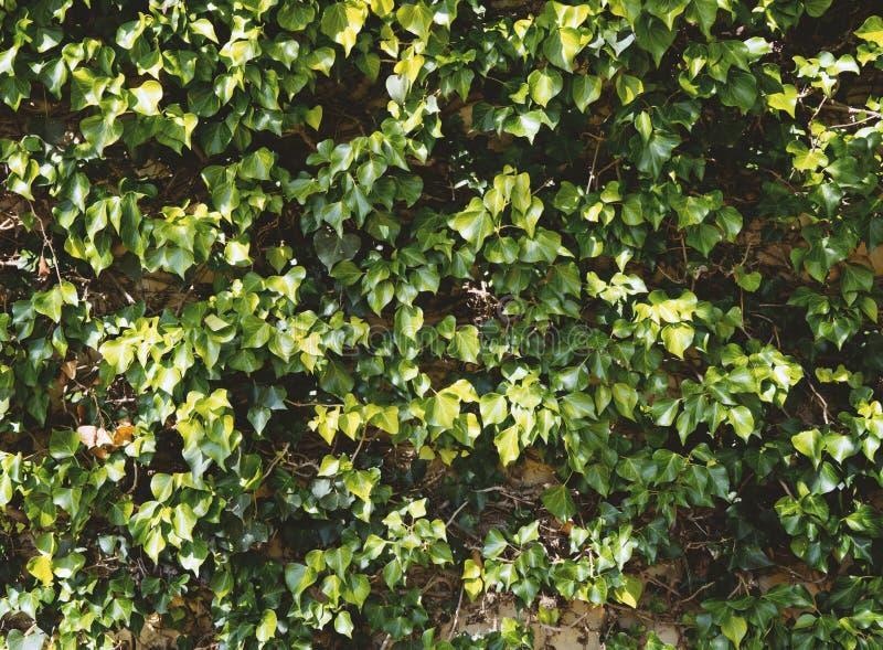 Den naturliga gröna murgrönan lämnar väggtextur royaltyfri foto
