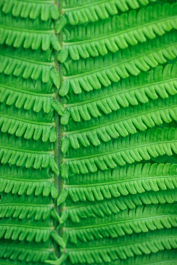 den naturliga lodlinjen texturerade grön bakgrund från filialer och sidor av en ormbunke arkivbilder