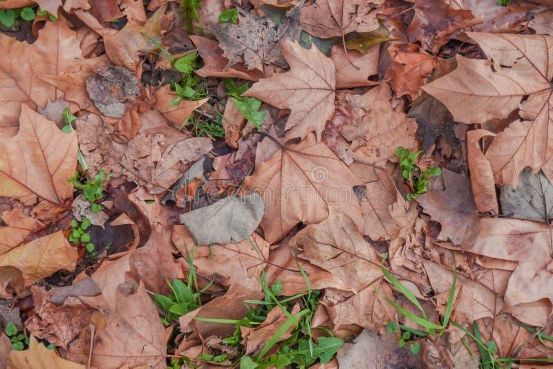Den naturliga torra bladhösten från parkerar trädet på jordbakgrund royaltyfri fotografi
