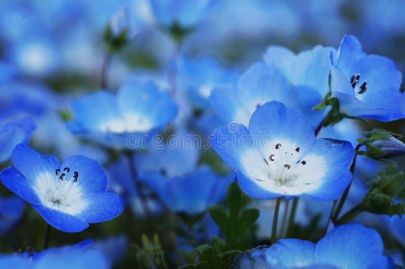 Den Nemophila menziesiien - behandla som ett barn blåa ögon royaltyfria bilder