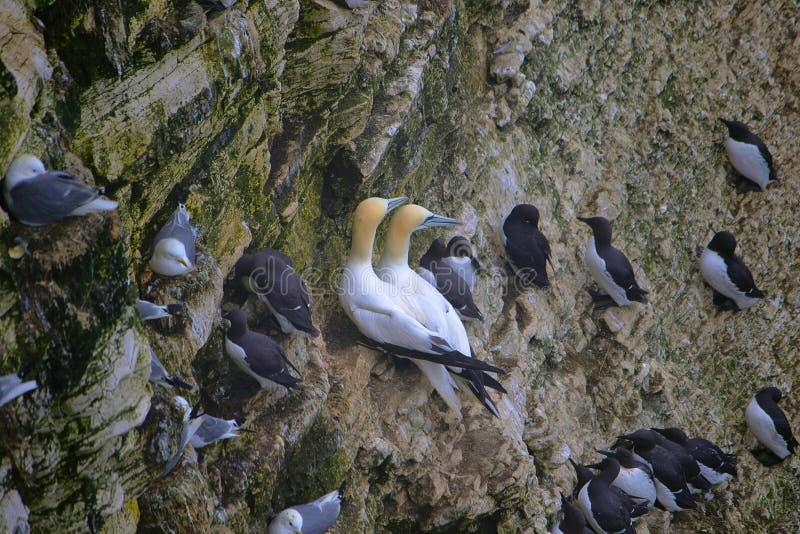 Den nordliga havssulan, Morusbassanus är en seabird och den största medlemmen av havssulafamiljen arkivfoto