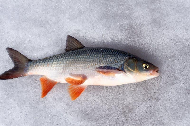 Den nya flodfisken ligger på en metalltabell Ide En stråle av vatten som siktas på fisken som plaskar vatten arkivbild