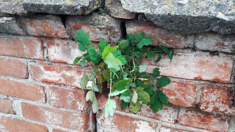Den nya gröna busken växer på på en gammal tegelstenvägg Naturlig bakgrund, sidor och texturer av den konkreta tegelstenen och royaltyfri foto