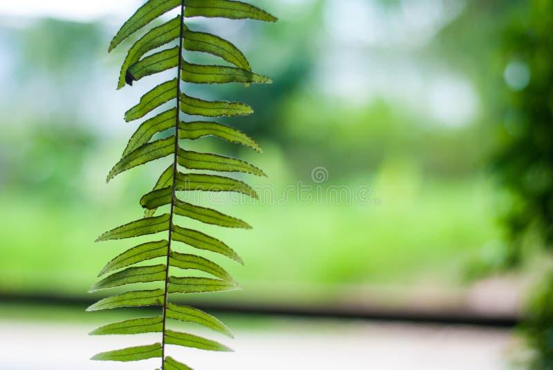 Den nya gröna ormbunken som hänger ner bakgrund, natur lämnar skönhet royaltyfri bild