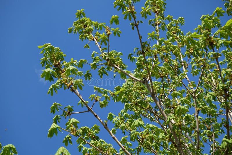 Den nya kastanjen lämnar blom efter vinter mot en blå himmel royaltyfria bilder