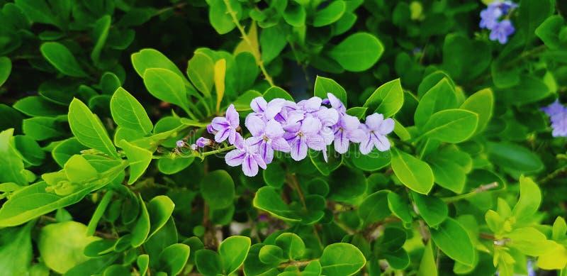 Den nya lilla purpurfärgade blomman med grön sidabakgrund i blom- trädgård parkerar arkivbilder
